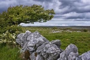 Ireland, Clare, Burren, Blooming Hawthorn in Burren Karst, Stone Wall by K. Schlierbach