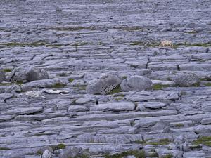 Ireland, Clare, Burren, Grazing Cow in the Burren Karst by K. Schlierbach