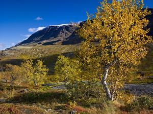 Norway, Boverkinnhalsen, Jotunheimen National Park, Autumn Fjellbirken Against Snowy Mountain Peaks by K. Schlierbach