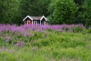 Sweden, Sweden Small House Between Pink Blooming Fireweed Midsummer Night Flowers by K. Schlierbach
