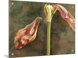 Wilted Tulip on Floral Design Silk Background by K.T.