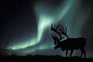 Aurora Borealis And Caribou by Kaj Svensson