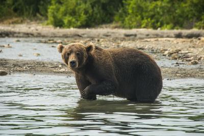 https://imgc.allpostersimages.com/img/posters/kamchatka-brown-bear-ursus-arctos-beringianus-kurile-lake-kamchatka-russia-eurasia_u-L-PQ8R4Z0.jpg?p=0