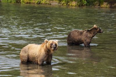 https://imgc.allpostersimages.com/img/posters/kamchatka-brown-bears-ursus-arctos-beringianus-kurile-lake-kamchatka-russia-eurasia_u-L-PQ8OEZ0.jpg?p=0