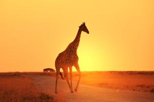 Giraffe in Savannah by Kamchatka
