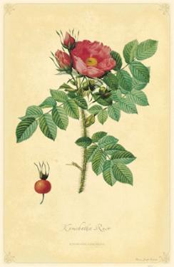 Kamchatka Rose