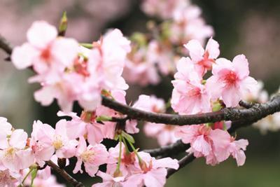 Japanese Flowering Cherry Blossoms by kamill