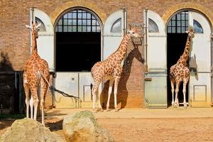 Giraffes at the London Zoo in Regent Park by Kamira