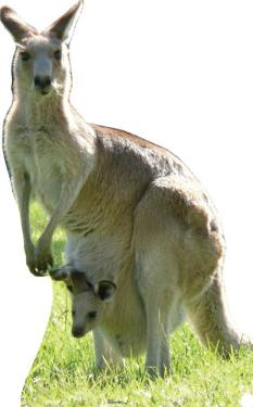 Kangaroo Lifesize Standup