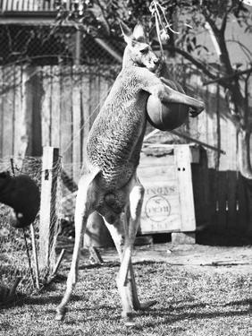 Kangaroo with a Punch Bag