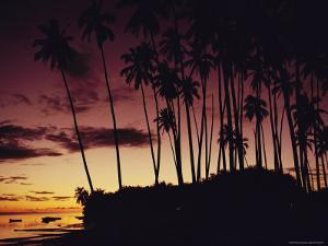 Kapuaiwa Coconut Grove Contains the Last Surviving Royal Coconut Palms