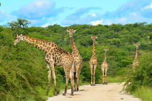 Giraffes on the Road by Karel Gallas