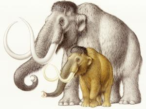 A Dwarf Wooly Mammoth Compared to a Larger Wooly Mammoth by Karel Havlicek