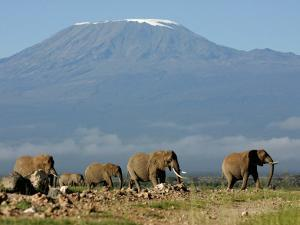Elephants Backdropped by Mt. Kilimanjaro, Amboseli, Kenya by Karel Prinsloo