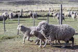 Argentina, Patagonia, South America. Three sheep on an estancia walk by other sheep. by Karen Ann Sullivan