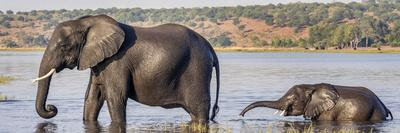 Chobe River, Botswana, Africa. African Elephant mother and calf cross the Chobe River.