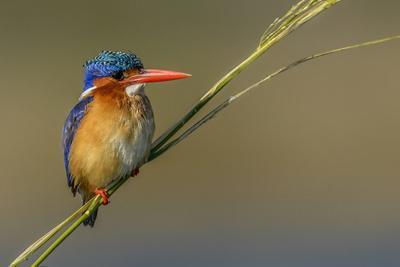 Chobe River, Botswana, Africa. Malachite Kingfisher.