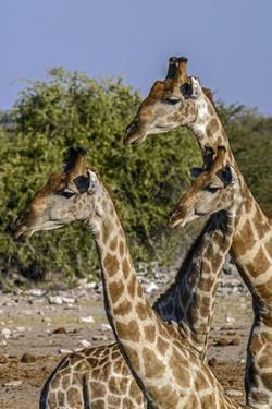 Etosha National Park, Namibia, Africa. Three Angolan Giraffe. by Karen Ann Sullivan