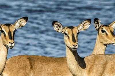 Etosha National Park, Namibia, Africa. Three Black-faced Impala near a waterhole.
