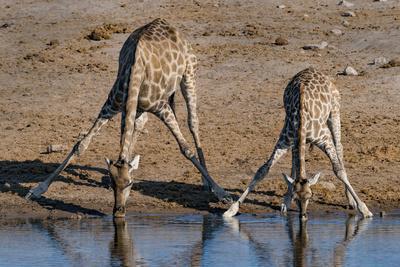 Etosha National Park, Namibia, Africa. Two Angolan Giraffe drinking.