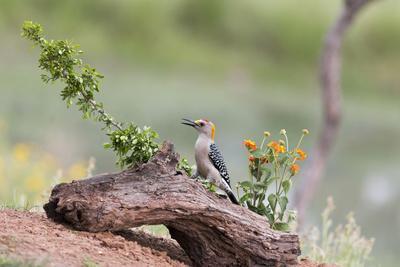 Rio Grande Valley, Texas, USA Male Golden-fronted Woodpecker.