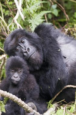 Virunga Mountains, Rwanda, Africa. Mountain Gorilla adult and young. by Karen Ann Sullivan