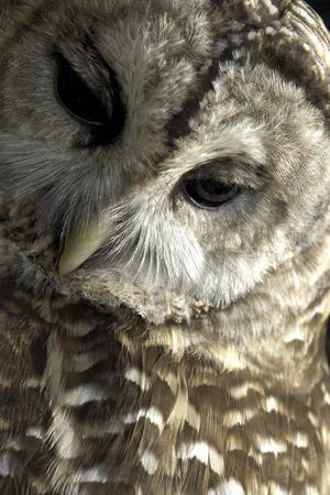 Westchester County, New York, USA Captive Barred Owl.
