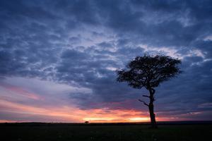 Acacia tree at sunset, Masai Mara, Kenya, East Africa, Africa by Karen Deakin