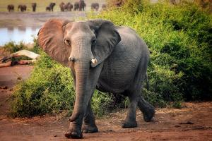 African elephant, Chobe National Park, Botswana, Africa by Karen Deakin