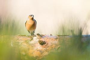 Chaffinch bird, Scotland, United Kingdom, Europe by Karen Deakin
