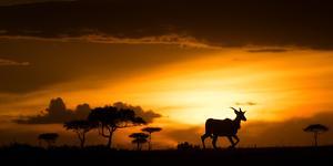 Eland at sunset, Masai Mara, Kenya, East Africa, Africa by Karen Deakin