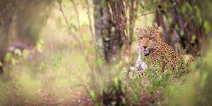 Leopard, Masai Mara, Kenya, East Africa, Africa by Karen Deakin