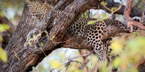 Leopard, Okavango Delta, Botswana, Africa by Karen Deakin