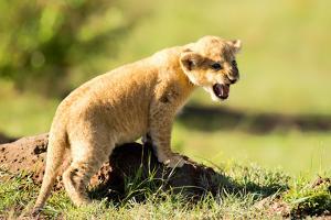 Lion cub calling, Masai Mara, Kenya, East Africa, Africa by Karen Deakin