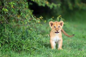 Lion cub, Masai Mara, Kenya, East Africa, Africa by Karen Deakin