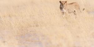 Lion, Okavango Delta, Botswana, Africa by Karen Deakin