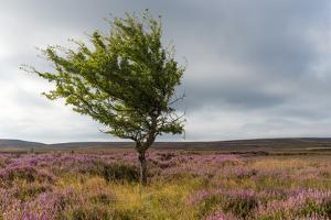 Lone tree amongst the heather, Yorkshire Moors, Yorkshire, England, United Kingdom, Europe by Karen Deakin