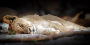 Sleeping lion cub, Chobe National Park, Botswana, Africa by Karen Deakin