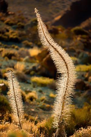 Teide National Park, UNESCO World Heritage Site, Tenerife, Canary Islands, Spain, Europe by Karen Deakin
