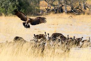 Vultures on a kill, Botswana, Africa by Karen Deakin