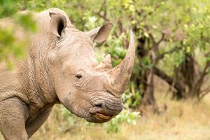 White rhinoceros, Masai Mara, Kenya, East Africa, Africa by Karen Deakin