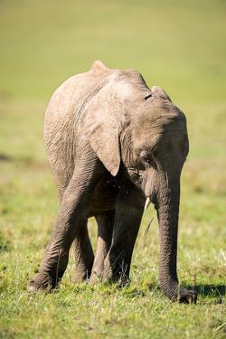 Young elephant, Masai Mara, Kenya, East Africa, Africa by Karen Deakin