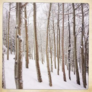 Aspen Trees and Snow, Colorado by Karen Desjardin