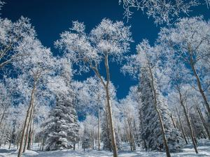 Frost and Snow Covered Trees, Colorado by Karen Desjardin