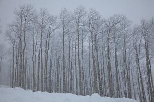 Grove of Aspen Trees in Snowstorm by Karen Desjardin