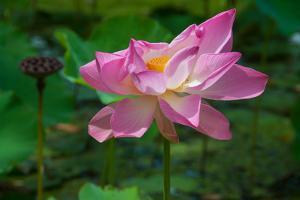 A Lotus Flower Blooming in Tahiti by Karen Kasmauski