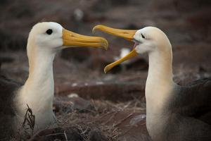 A Pair of Albatross Pair on Espanola Island in the Galapagos by Karen Kasmauski