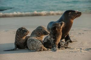 An Adult Sea Lion with Pups on Espanola Island in the Galapagos by Karen Kasmauski