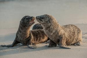 Sea Lion Pups on Espanola Island in the Galapagos by Karen Kasmauski