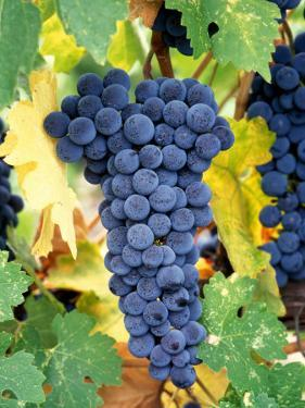 Cabernet Sauvignon Grapes, Napa Valley, California by Karen Muschenetz